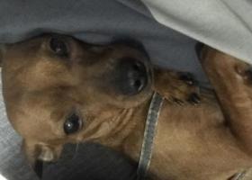寻狗启示,寻狗小鹿犬 必有重谢 走失聊城开发区,它是一只非常可爱的宠物狗狗,希望它早日回家,不要变成流浪狗。