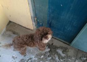 寻狗启示,沈阳于洪区迎宾路附近泰迪走失,它是一只非常可爱的宠物狗狗,希望它早日回家,不要变成流浪狗。