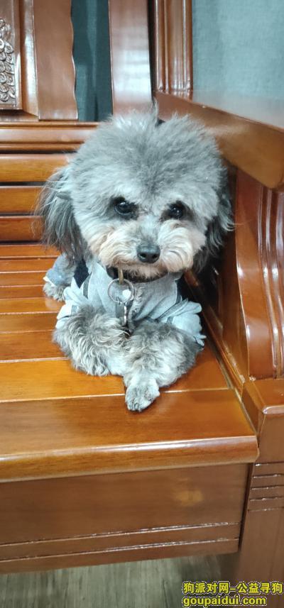 宣城找狗,泾县环城东路灰泰迪名字小八,它是一只非常可爱的宠物狗狗,希望它早日回家,不要变成流浪狗。