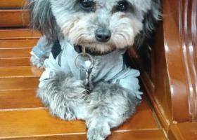 寻狗启示,泾县环城东路灰泰迪名字小八,它是一只非常可爱的宠物狗狗,希望它早日回家,不要变成流浪狗。
