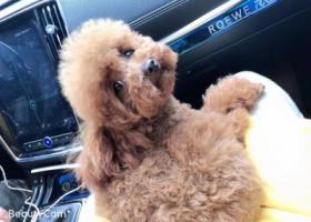 寻狗启示,寻找小体母泰迪 ,鼻头有点脱毛,手腕到手肘大小,它是一只非常可爱的宠物狗狗,希望它早日回家,不要变成流浪狗。