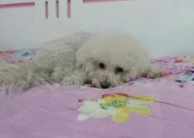寻狗启示,寻狗启示,4月13日晚七点左右丢失白色比熊一只,它是一只非常可爱的宠物狗狗,希望它早日回家,不要变成流浪狗。