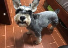 寻狗启示,4月13日深圳西丽走失一只雪纳瑞,它是一只非常可爱的宠物狗狗,希望它早日回家,不要变成流浪狗。