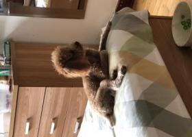 寻狗启示,沈阳市于洪区七彩阳光城荷兰村那片寻找一只棕色泰迪。,它是一只非常可爱的宠物狗狗,希望它早日回家,不要变成流浪狗。