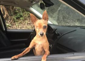 寻狗启示,走失一只独眼小鹿犬!,它是一只非常可爱的宠物狗狗,希望它早日回家,不要变成流浪狗。