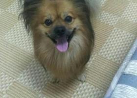 寻狗启示,龙岗坪西村天桥丢失博美犬串串一只,联系电话:18227339782,它是一只非常可爱的宠物狗狗,希望它早日回家,不要变成流浪狗。
