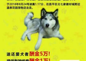 寻狗启示,北京市昌平区温泉花园酬谢五万元寻找哈士奇,它是一只非常可爱的宠物狗狗,希望它早日回家,不要变成流浪狗。