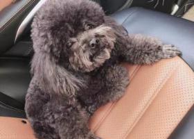寻狗启示,武汉市发展大道黑色泰迪丢失(走丢时身穿一件黑白条纹的背带衣服),它是一只非常可爱的宠物狗狗,希望它早日回家,不要变成流浪狗。