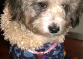 寻狗启示,北京西城区9岁雪纳瑞串串,它是一只非常可爱的宠物狗狗,希望它早日回家,不要变成流浪狗。