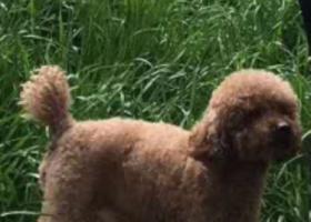 重金寻丢失在成都双流长冶路附近丢失泰迪狗