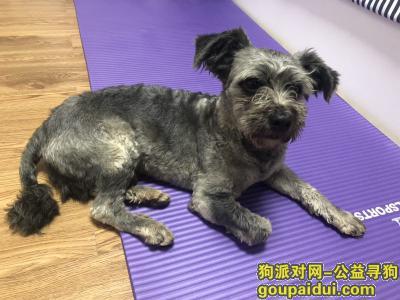深圳找狗主人,深圳西丽塘朗雪纳瑞 20190416,它是一只非常可爱的宠物狗狗,希望它早日回家,不要变成流浪狗。