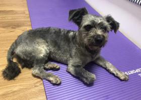 寻狗启示,深圳西丽塘朗雪纳瑞 20190416,它是一只非常可爱的宠物狗狗,希望它早日回家,不要变成流浪狗。