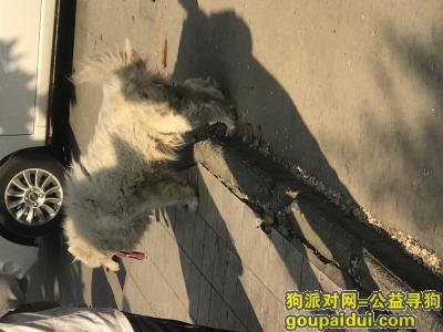 淮南找狗,淮南洞山龙眼村有一只流浪的萨摩耶犬,它是一只非常可爱的宠物狗狗,希望它早日回家,不要变成流浪狗。
