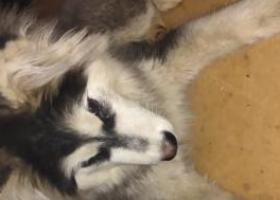 寻狗启示,到底是阿拉斯加还是哈士奇我也不知,它是一只非常可爱的宠物狗狗,希望它早日回家,不要变成流浪狗。
