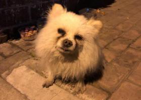 寻狗启示,寻主人:白博美找主人或领养,静安区西藏北路、中华兴路路口,它是一只非常可爱的宠物狗狗,希望它早日回家,不要变成流浪狗。