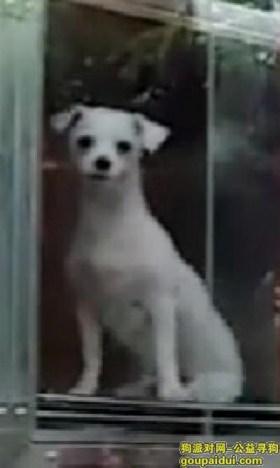 海口寻狗,寻海口走丢白色比熊犬,它是一只非常可爱的宠物狗狗,希望它早日回家,不要变成流浪狗。