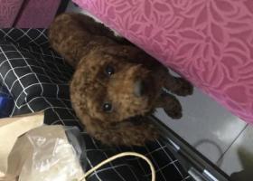 寻狗启示,本人捡到棕色卷毛泰迪,它是一只非常可爱的宠物狗狗,希望它早日回家,不要变成流浪狗。