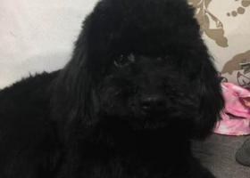 寻狗启示,寻找黑色泰迪狗狗糖果,它是一只非常可爱的宠物狗狗,希望它早日回家,不要变成流浪狗。