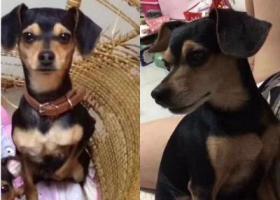 寻狗启示,北京海淀区清河酬谢一万元寻找田园犬,它是一只非常可爱的宠物狗狗,希望它早日回家,不要变成流浪狗。