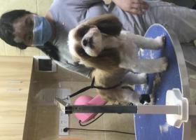 寻狗启示,寻找花都区雅景苑附近丢失的西施犬,它是一只非常可爱的宠物狗狗,希望它早日回家,不要变成流浪狗。