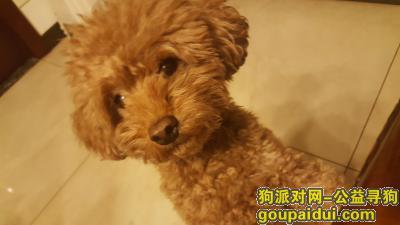 ,在桥西区丢失一只泰迪名欢神,如若找到请联系qq号2996417939,它是一只非常可爱的宠物狗狗,希望它早日回家,不要变成流浪狗。