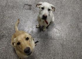 寻狗启示,白色拉布拉多犬7个月左右,希望帮忙寻找,它是一只非常可爱的宠物狗狗,希望它早日回家,不要变成流浪狗。