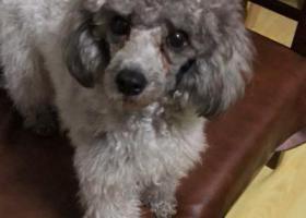 寻狗启示,北京房山长阳区域寻找灰色贵宾犬—黑黑,它是一只非常可爱的宠物狗狗,希望它早日回家,不要变成流浪狗。