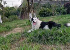 寻狗启示,急寻我家边境牧羊,虽然不是纯种的,但我们很爱它,它是一只非常可爱的宠物狗狗,希望它早日回家,不要变成流浪狗。