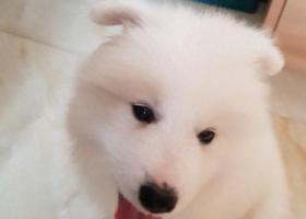 寻狗启示,50天大的萨摩耶走丢了,它是一只非常可爱的宠物狗狗,希望它早日回家,不要变成流浪狗。