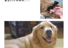 寻狗启示,东方路张扬路金毛寻主人,它是一只非常可爱的宠物狗狗,希望它早日回家,不要变成流浪狗。