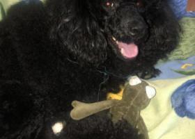 寻狗启示,青园街和平路附近捡到一只黑色贵宾,它是一只非常可爱的宠物狗狗,希望它早日回家,不要变成流浪狗。