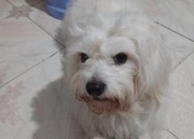 寻狗启示,小白,在金山湖游泳馆走丢。,它是一只非常可爱的宠物狗狗,希望它早日回家,不要变成流浪狗。