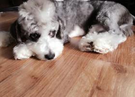 寻狗启示,北京西城区新街口 雪纳瑞串串,它是一只非常可爱的宠物狗狗,希望它早日回家,不要变成流浪狗。