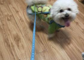 寻狗启示,合肥瑶海区在临泉路与通达路寻找比熊,它是一只非常可爱的宠物狗狗,希望它早日回家,不要变成流浪狗。