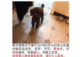 寻狗启示,北京通州区桃花岛小区酬谢3000元寻找泰迪,它是一只非常可爱的宠物狗狗,希望它早日回家,不要变成流浪狗。
