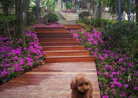 寻狗启示,寻找棕色雌性小泰迪。,它是一只非常可爱的宠物狗狗,希望它早日回家,不要变成流浪狗。
