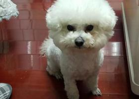 寻狗启示,芜湖中央城附近丢失白色比熊犬,它是一只非常可爱的宠物狗狗,希望它早日回家,不要变成流浪狗。