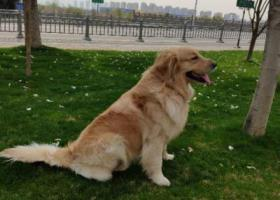 寻狗启示,盐城 射阳县兴庆居委会酬谢三千元寻找金毛,它是一只非常可爱的宠物狗狗,希望它早日回家,不要变成流浪狗。