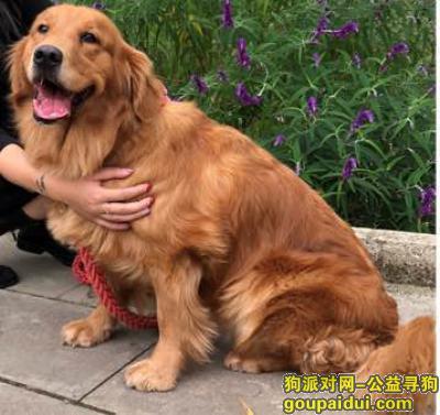 贵阳市观山湖区 金阳南路旁野鸭街寻找金毛,它是一只非常可爱的宠物狗狗,希望它早日回家,不要变成流浪狗。