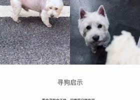 4月19日在鹿泉区食草堂走失一只小狗