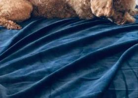 【寻狗启示】于4月20号晚上6点50分在博物馆对面滨溪佳园小区走丢 主人寝食难安 找到者有重谢