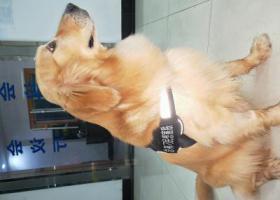 寻狗启示,五一广场走丢一只金毛,它是一只非常可爱的宠物狗狗,希望它早日回家,不要变成流浪狗。