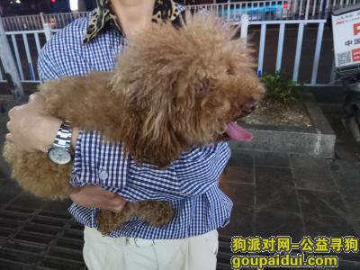 安顺寻狗启示,泰迪寻主人,在安顺速八酒店附近捡到,它是一只非常可爱的宠物狗狗,希望它早日回家,不要变成流浪狗。