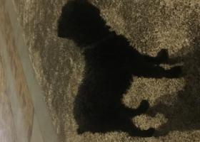 壹品湾附近,黑色的毛狗,脖子有条带子,麻烦有遗失或者愿意领养的请尽快附近找找,谢谢!