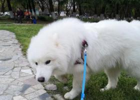 寻狗启示,小萨摩丢了,如果好心人看见请联系我,重谢!,它是一只非常可爱的宠物狗狗,希望它早日回家,不要变成流浪狗。