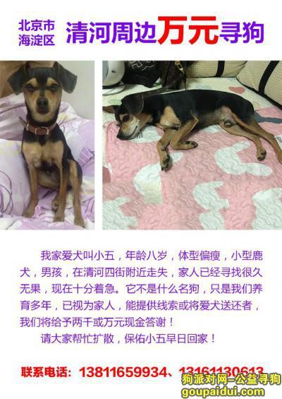 北京海淀区清河 酬谢一万元寻找田园犬,它是一只非常可爱的宠物狗狗,希望它早日回家,不要变成流浪狗。
