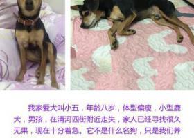 北京海淀区清河 酬谢一万元寻找田园犬
