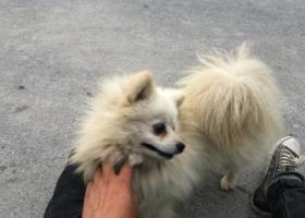 寻狗启示,急寻白色银狐犬,不想再错过,它是一只非常可爱的宠物狗狗,希望它早日回家,不要变成流浪狗。