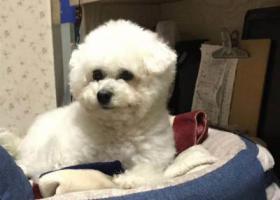 寻狗启示,旭辉 新华书店 中山东桥 寻找白色比熊,它是一只非常可爱的宠物狗狗,希望它早日回家,不要变成流浪狗。