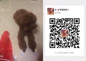 寻狗启示,东莞市塘厦观光公园酬谢三千元寻找泰迪,它是一只非常可爱的宠物狗狗,希望它早日回家,不要变成流浪狗。